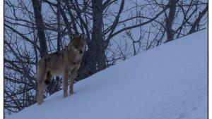 Sur la piste des loups