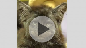 Insolite : faites connaissance avec le chat - homme