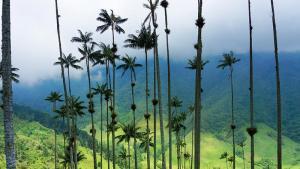 Cocora, la vallée aux  palmiers géants