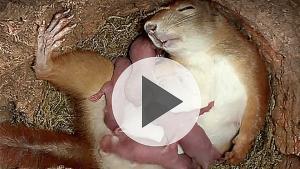 Naissance de bébés écureuils!