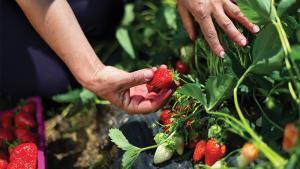 Faut-il renoncer aux fraises espagnoles?