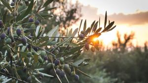 Alimentation. L'huile d'olive coule à flots