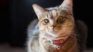 Faut-il mettre une clochette aux chats pour sauver les oiseaux?
