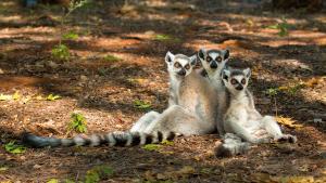 Les lémuriens, trésors vivants de Madagascar