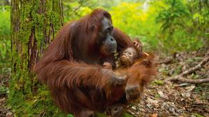 L'orang-outan, un grand singe pas comme les autres