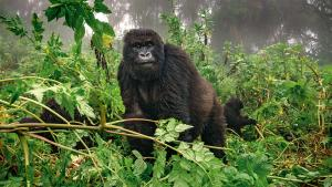 Gorille en Ouganda