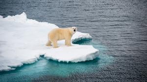Le Spitzberg : fragile royaume de l'ours blanc