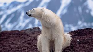 Jamais de glace face aux ours blancs