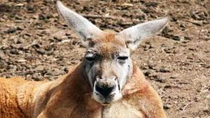 Roger le Kangourou bodybuildé est décédé