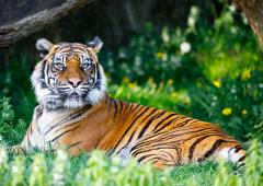 Nature : l'intelligence artificielle au secours des tigres